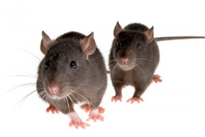 Rodent Control in Melbourne, Victoria