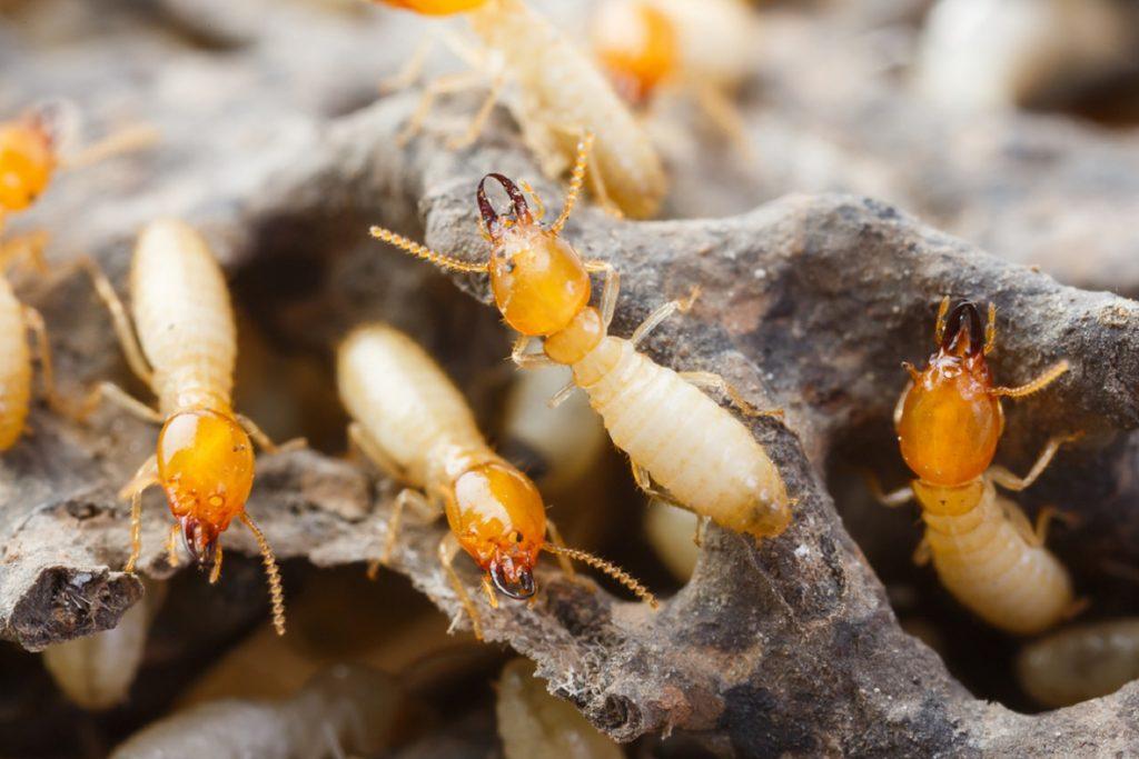 Termite Control & Eradication Services